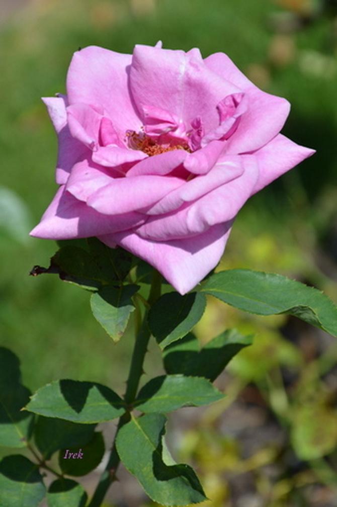 róża w niezdecydowanym kolorze