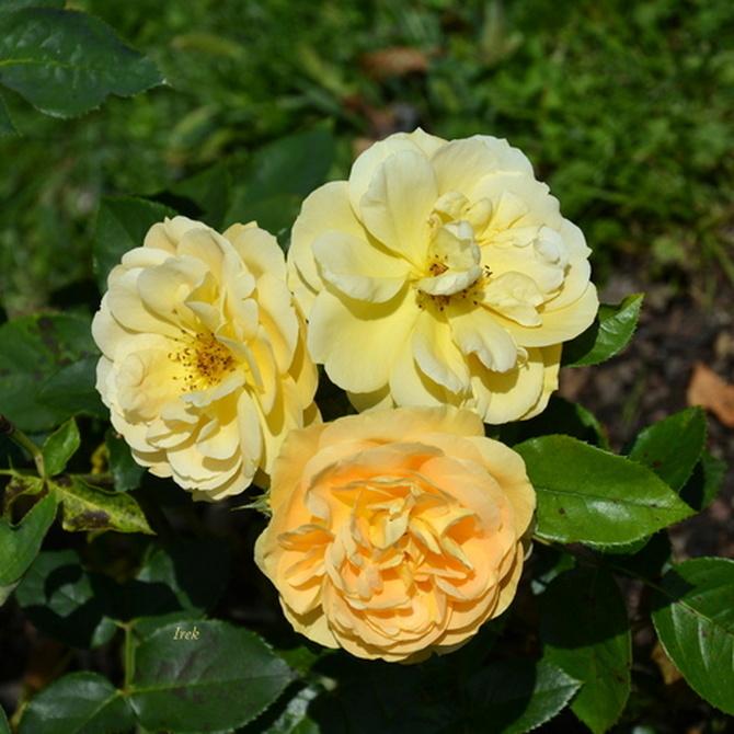 Róże na jednej gałązce.
