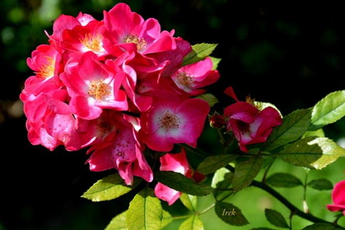 różyczka czerwona