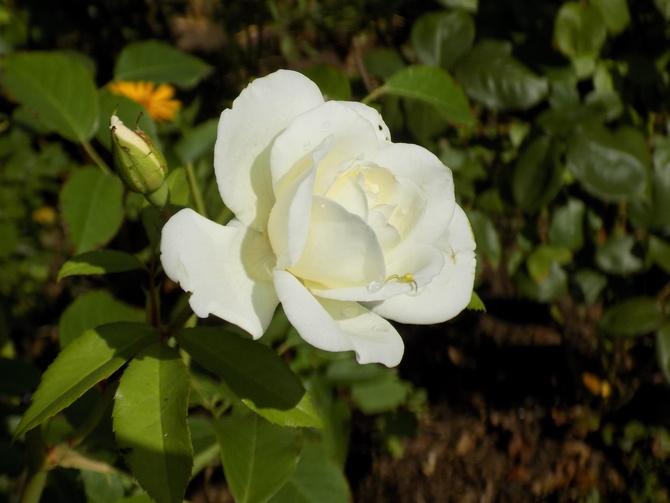 Wracają róże :)
