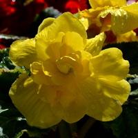 begonia żółta