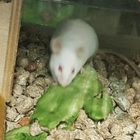 Biała mysz......