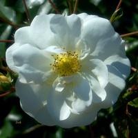 biała różyczka