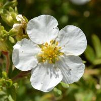 biały kwiat krzewu z bliska