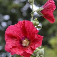 czerwona malwa