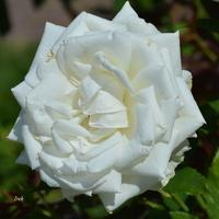duża biała róża