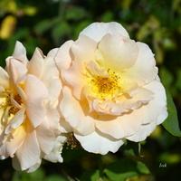 dwie róże...