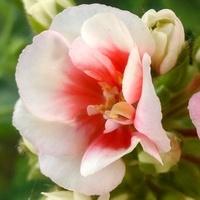 Dwubarwne kwiaty...