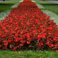 Dywan kwiatowy w Ogrodzie Saskim