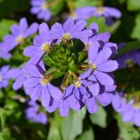 dziurawy kwiat, scewola