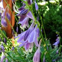 Funkia-kwiaty