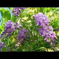 Glicynia,pnącze o pięknych kwiatach