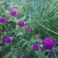 gomfrena-piękne kuleczki