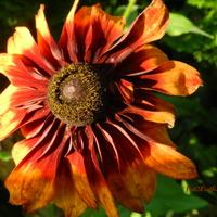 Gorące barwy rudbekii