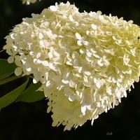 hortensja biała
