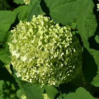 hortensja zielona