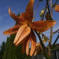 Jeszcze w temacie lilii....