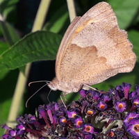 Kiepsko z motylkami....