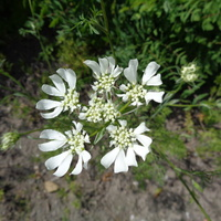 Orlaja wielkokwiatowa / grandiflora / .