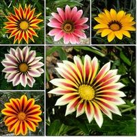 Kwiaty lata ,Gazanie