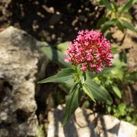 Kwitną ostrogowce z nasion :)