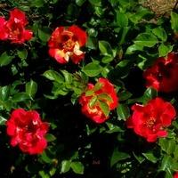 małe różyczki
