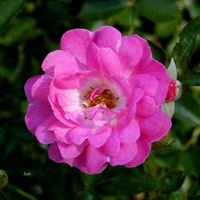 mocno różowa róża