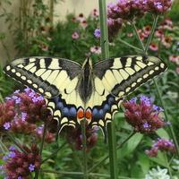 Motylków w ogrodzie mało