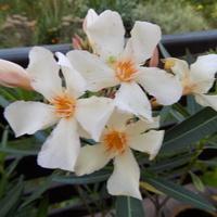 Oleander ..............