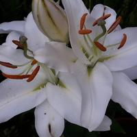 Ostatnia lilia.......