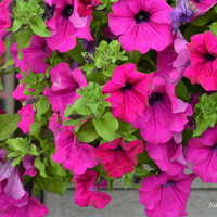 petunia kolorowa