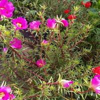 portulaka-bardzo lubię te drobne kwiatuszki