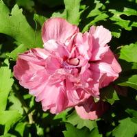 Róża chińska-Hibiskus