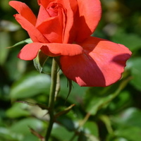 róża delikatna