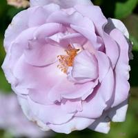róża fioletowo-niebieska