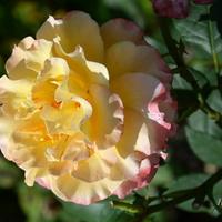 róża na dobre sny