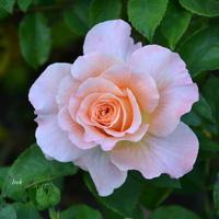 róża o niezdecydowanym kolorze