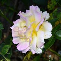 róża rozczochrana