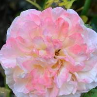 róża w piegach