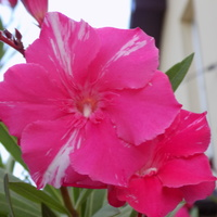Róż okraszony odrobiną bieli:)