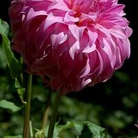 różowa dalia