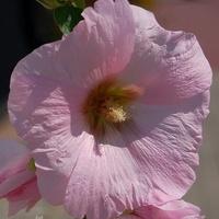 różowa malwa
