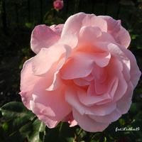 Róża w kolorze różowym