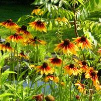 Słoneczne kwiaty,rudbekie