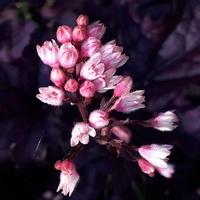 Żurawka - odmiana o bardzo ciemnych liściach