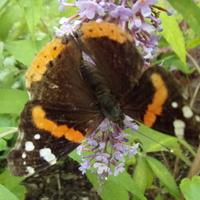 Wreszcie motyl na budlei.