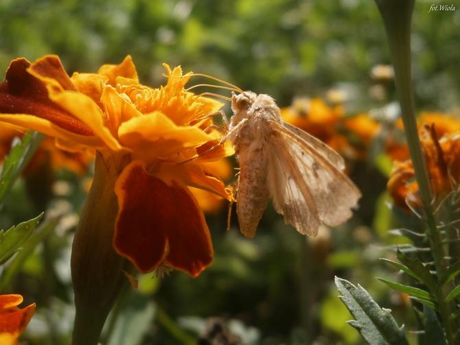 Amator nektaru
