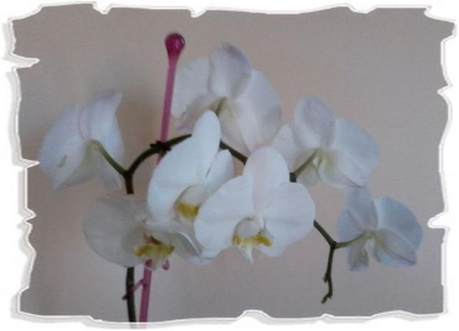Biały storczyk dla Was