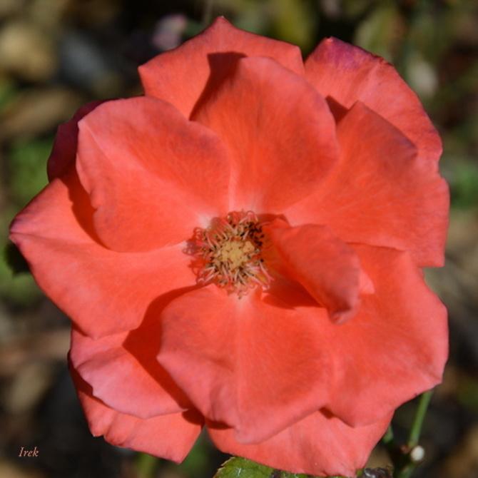 czerwona róża na rozgrzewkę