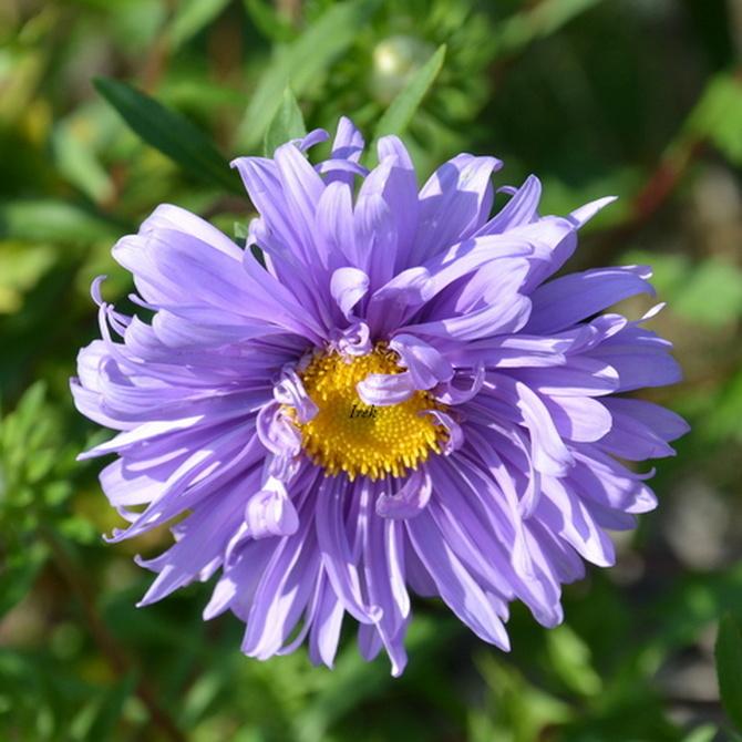 fioletowy kwiat.